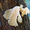 White Mushroom on Tree, 2013-10-17