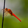 Red Dragonfly on Twig, 2005-07-13