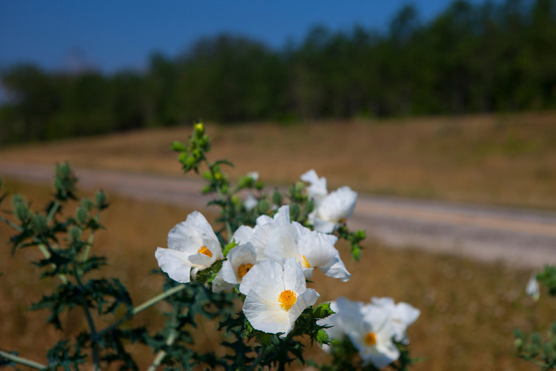 White Prickly Poppy Roadside, 2012-05-13