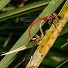 Telebasis salva, desert firetail, Sweetwater Wetlands Park, Pima County, Arizona