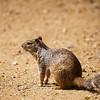 Otospermophilus variegatus, rock squirrel, Sweetwater Wetlands Park, Pima County, Arizona
