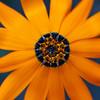Dimorphotheca sinuata, Cape marigold, Sonoran Desert, Feld Davis Pocket Park, Tucson, Arizona