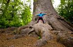 Tree Hugger,  Lake Quinault Lodge, Olympic NP, Wa USA