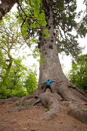 Tree Hugger, Largest Spruce Tree, Lake Quinault Lodge, Olympic NP, Wa USA