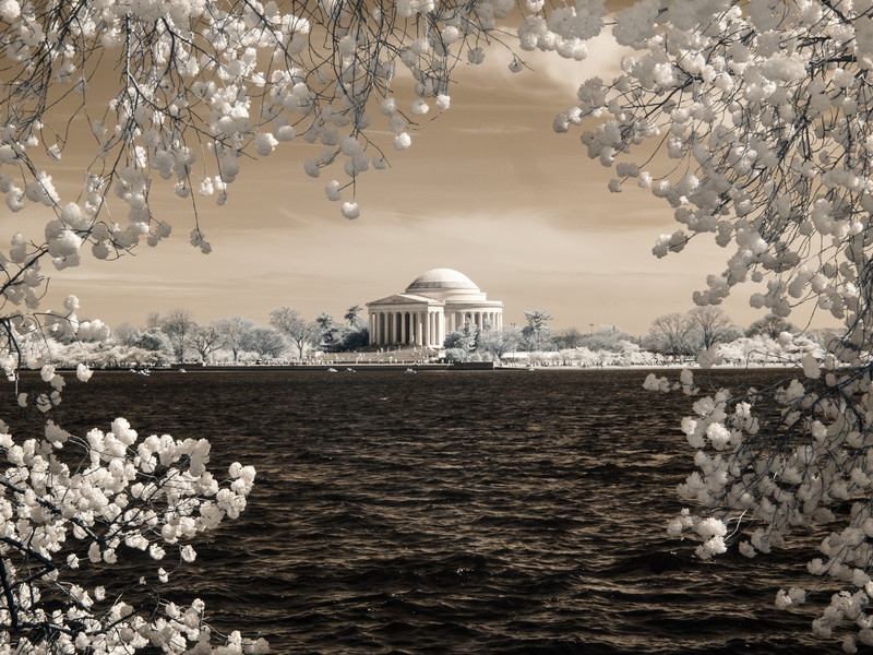Cherry Blossoms in Infrared.