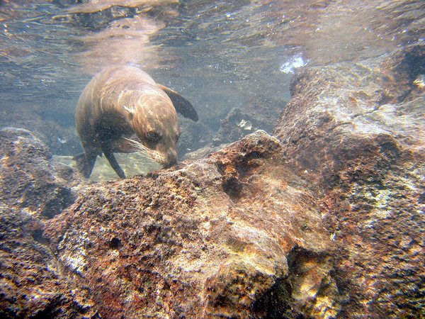 sea lion checking out snorkler