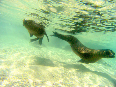 sea lions swimming around snorkler