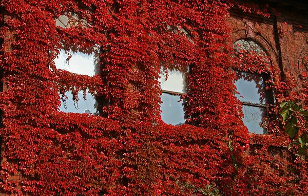 Red ivy 1
