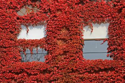 Red Ivy #2