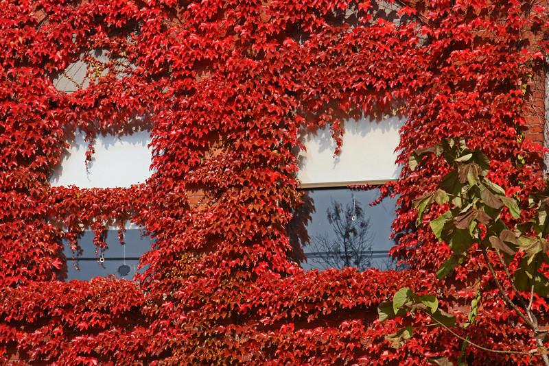 Red Ivy #3