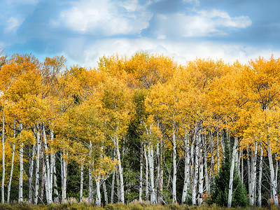 Yellow Aspen Grove in the Tetons