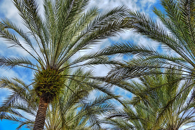 Palm Trees, Fronds and Sky