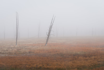 Dead Trees and Meadow on Foggy Morning