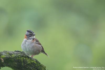 Rufous-collared Sparrow - Lomas de Lachay, Peru