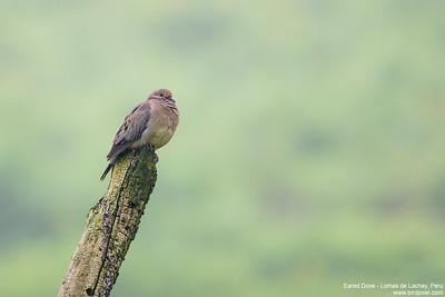 Eared Dove - Lomas de Lachay, Peru