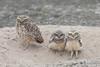 Burrowing Owl - Lomas de Lachay, Peru