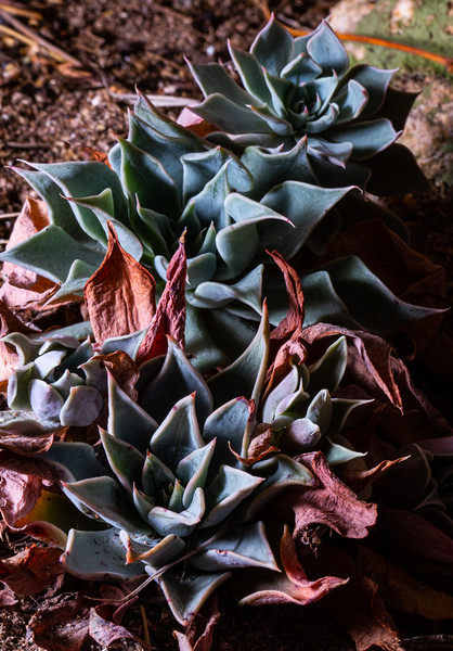 Graptopetalum bartramii, Patagonia Mountain leatherpetal, Santa Cruz County, Arizona