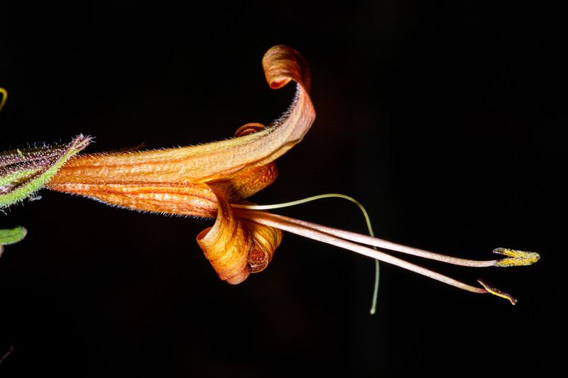 Thurber's desert honeysuckle (Anisacanthus thurberi), Santa Cruz County, Arizona