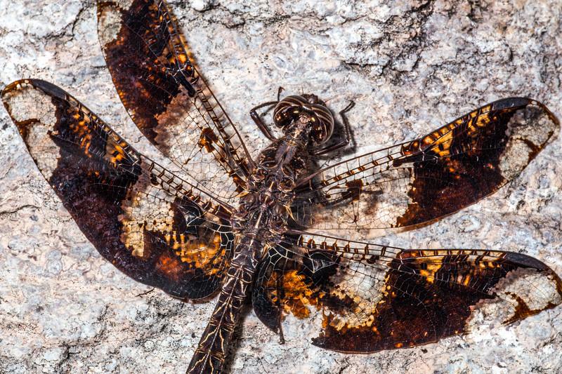 Filigree skimmer (Pseudoleon superbus), Santa Cruz County, Arizona