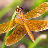 Mexican amberwing (Perithemis intensa), Quitobaquito Pond, Organ Pipe Cactus National Monument, Pima County, Arizona