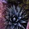 Agave parryi, Parry's agave, Chiricahua National Monument, Basin and Range Province, Cochise County, Arizona