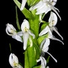 White bog orchid (Platanthera dilatata), Great Basin National Park, White Pine County, Nevada