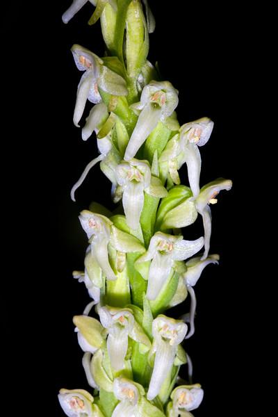 Platanthera aquilonis, Ferron Mountain, Manti-La Sal National Forest, Sanpete County, Utah