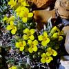 Physaria subumbellata, parasol bladderpod, Greater San Rafael Swell, Emery County, Utah
