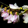 Utah sweetvetch, Hedysarum boreale, Wasatch Plateau, Emery County, Utah