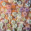 Welsh's milkweed (Asclepius welshii), Kane County, Utah