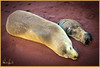 """NAP TIME FOR MOM AND ME"" - SEA LION MOTHER AND PUP TAKEN ON A GALAPAGOS ISLAND IN ECUADOR"