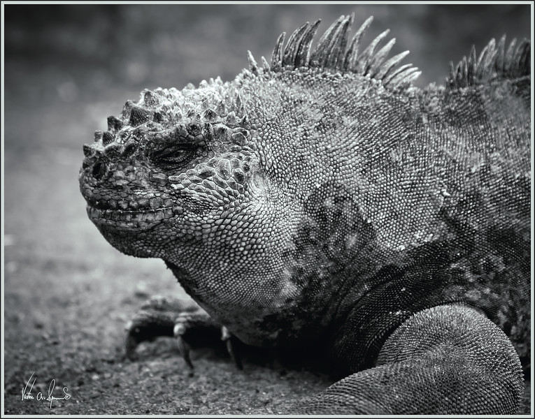 """SMILE.....YOU'RE ON CANDID CAMERA"" - MARINE IGUANA (BLACK AND WHITE) IN THE EARLY MORNING OF NOVEMBER 22, 2011 ON ONE OF THE GALAPAGOS ISLANDS"