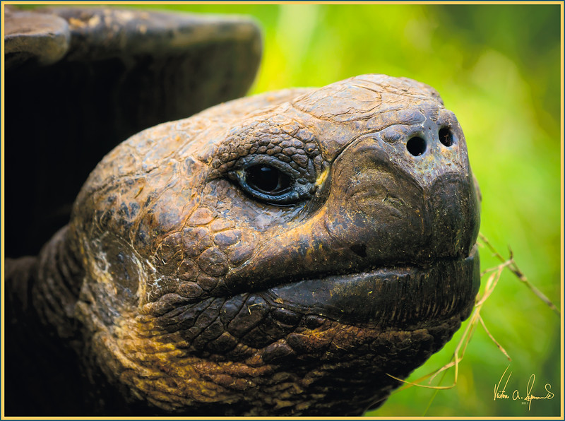 """I'M BIGGER THAN YOU"" - GIANT TORTOISE ON ONE OF THE GALAPAGOS ISLANDS IN ECUADOR"