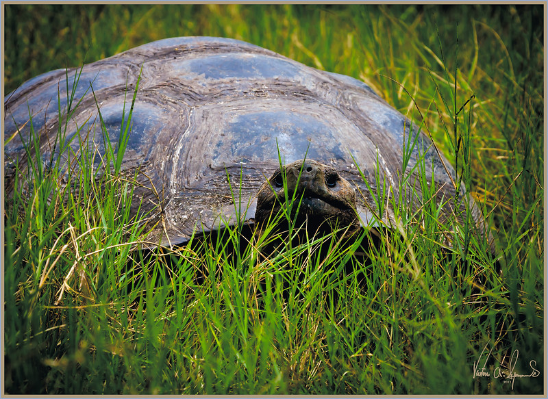 """PEEK-A-BOO"" - GIANT TORTOISE ON ONE OF THE GALAPAGOS ISLANDS IN ECUADOR TAKEN IN THE LATE MORNING OF NOVEMBER 22, 2011"