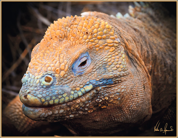 """GALAPAGOS LAND IGUANA"" - TAKEN ON SOUTH PLAZA ISLAND IN THE GALAPAGOS ISLANDS, ECUADOR"