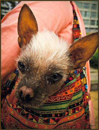 """""""IN THE BAG"""" - STREET SCENE IN LIMA, PERU ON NOVEMBER 13, 2011"""