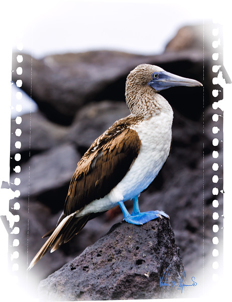 """""""IT'S ALL ABOUT THE FEET ........ DUMMY"""" - BLUE FOOTED BOOBY, PROBABLY ON SOUTH PLAZA ISLAND IN THE GALAPAGOS, ECUADOR.  TAKEN IN THE EARLY MORNING OF NOVEMBER 24, 2011"""