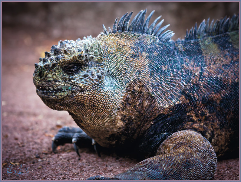 """SMILE.....YOU'RE ON CANDID CAMERA"" - MARINE IGUANA IN THE EARLY MORNING OF NOVEMBER 22, 2011 ON ONE OF THE GALAPAGOS ISLANDS"