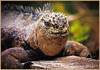 """I AM SMILING"" - MARINE IGUANA TAKEN ON ONE OF THE GALAPAGOS ISLANDS IN ECUADOR"