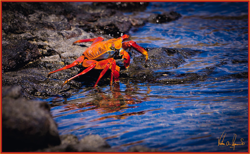 """SALLY LIGHTFOOT TAKES A STROLL"" - SALLY LIGHTFOOT CRAB IN THE EARLY MORNING TAKEN ON SANTIAGO ISLAND (SULLIVAN BAY), IN THE GALAPAGOS, ECUADOR"