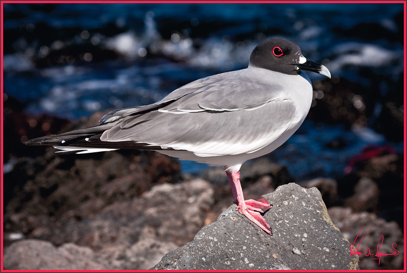 """POSING PRETTY"" - SWALLOW-TAILED GULL, PROBABLY TAKEN ON SOUTH PLAZA ISLAND IN THE GALAPAGOS, ECUADOR IN THE LATE AFTERNOON OF NOVEMBER 24, 2011"