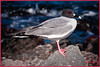 """""""POSING PRETTY"""" - SWALLOW-TAILED GULL, PROBABLY TAKEN ON SOUTH PLAZA ISLAND IN THE GALAPAGOS, ECUADOR IN THE LATE AFTERNOON OF NOVEMBER 24, 2011"""