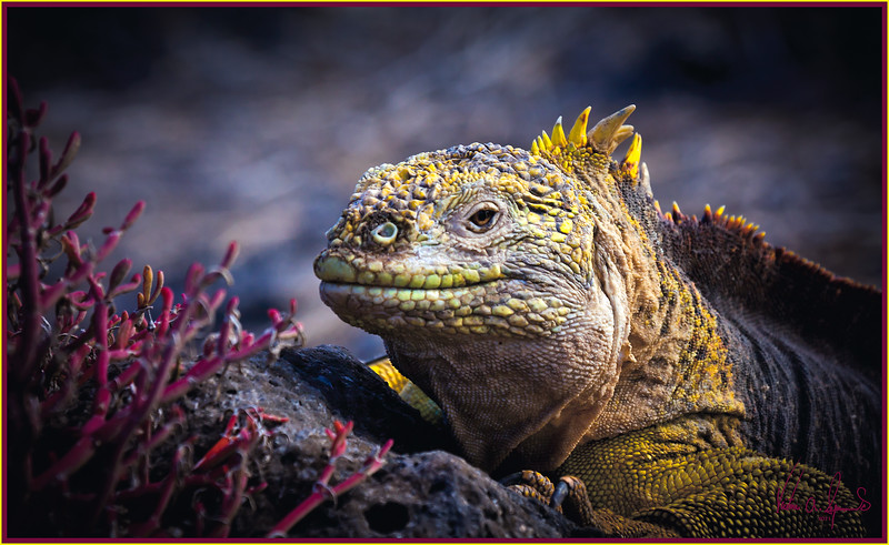 """""""SLOWLY, SLOWLY ........ I'M UP THE HILL"""" - LAND IGUANA SLOWLY MOVING UP A HILL ON SOUTH PLAZA ISLAND IN THE GALAPAGOS, ECUADOR IN THE LATE AFTERNOON"""