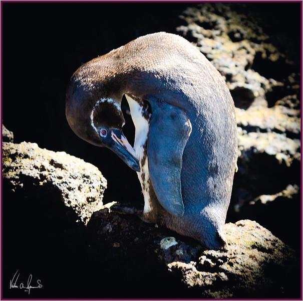 """""""GALAPAGOS PENGUIN"""" - ON THE SHORE OF BARTOLOME ISLAND IN THE GALAPAGOS ISLANDS, ECUADOR"""