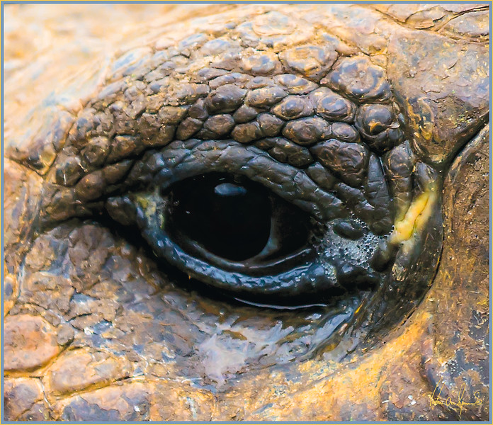 """""""THE EYE OF THE TORTOISE"""" - GIANT TORTOISE TAKEN ON ONE OF THE GALAPAGOS ISLANDS IN ECUADOR"""