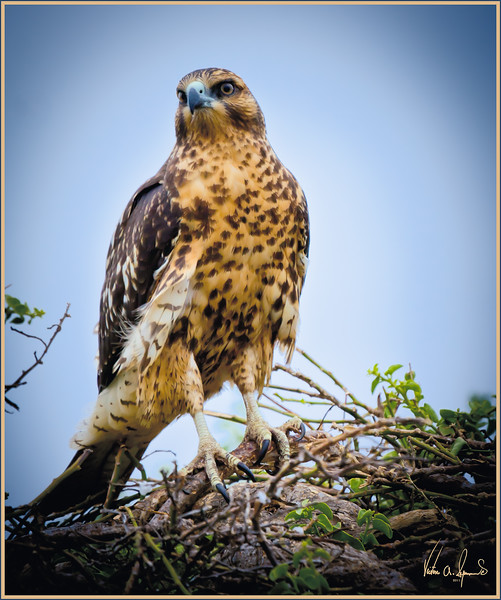 """GALAPAGOS HAWK"" - ON EITHER SANTA FE OR SOUTH PLAZA ISLANDS IN GALAPAGOS, ECUADOR"