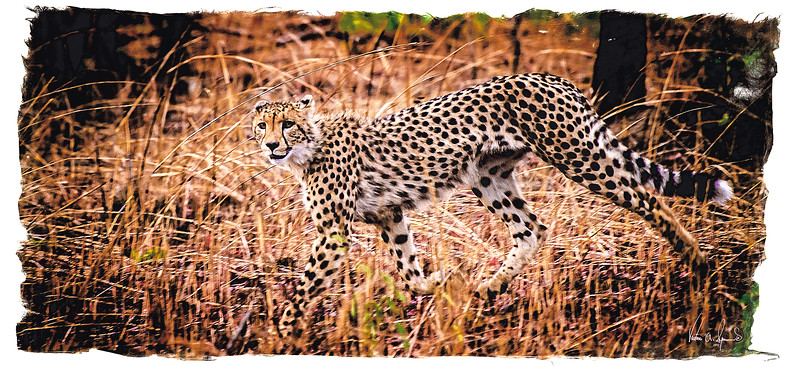 """CAMOUFLAGE"" - A CHEETAH IN KAFUE NATIONAL PARK IN ZAMBIA, AFRICA"