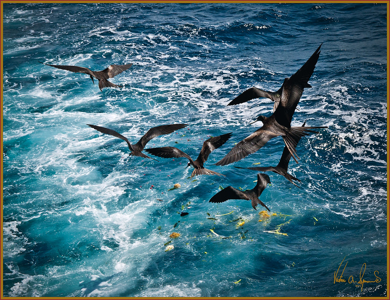 """""""THE GARBAGE COLLECTORS"""" - GREATER FRIGATEBIRDS FIGHT FOR GARBAGE SCRAPS IN THE WAKE OF THE TIP TOP IV. TAKEN ON NOVEMBER 24, 2011 IN THE MID-AFTERNOON WHILE MOTORING BETWEEN GALAPAGOS ISLANDS IN ECUADOR"""