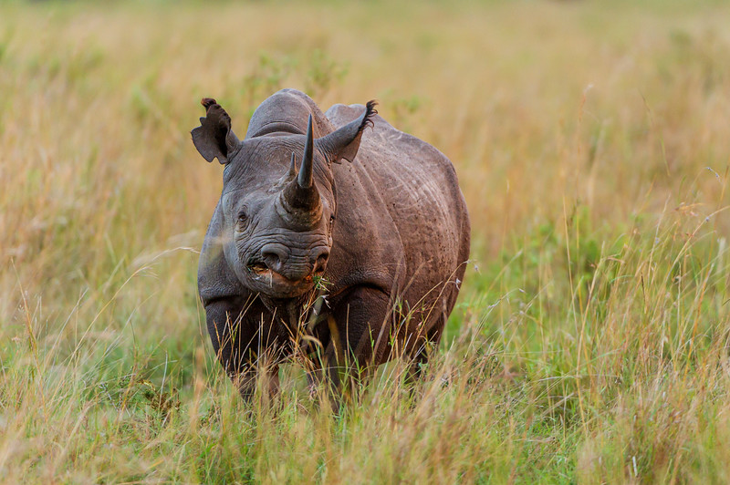Rare encounter with a Black Rhino in the Upper Mara, Kenya