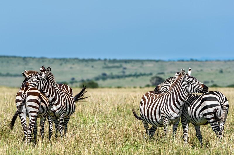 Zebras, front-to-back in Samburu, Kenya